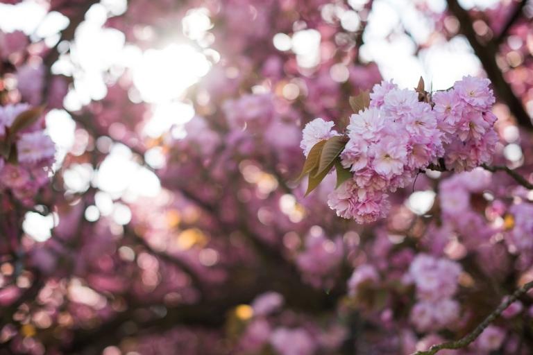 Jolie s ance engagement printani re au parc de sceaux - Parc de sceaux cerisiers en fleurs 2017 ...